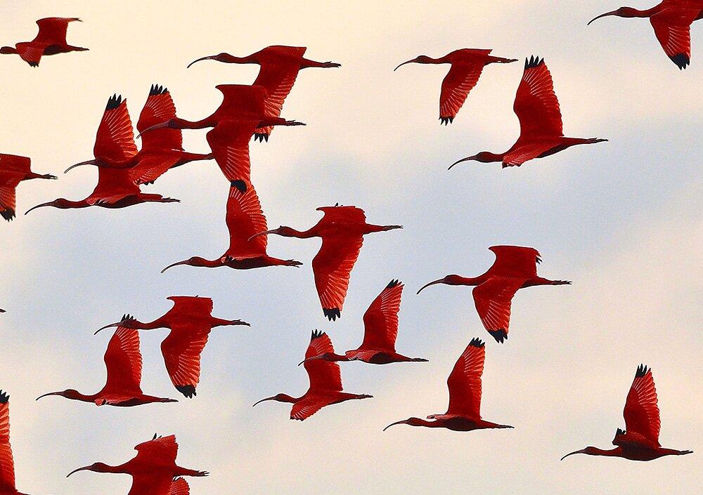 Красные ибисы (Eudocimus ruber) в полёте