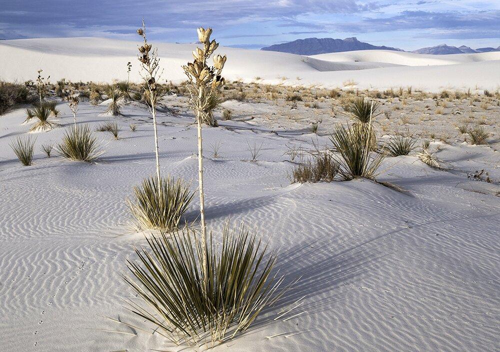 Юкка высокая (Yucca elata) в национальном памятнике «Белые пески» (Нью-Мексико, США)