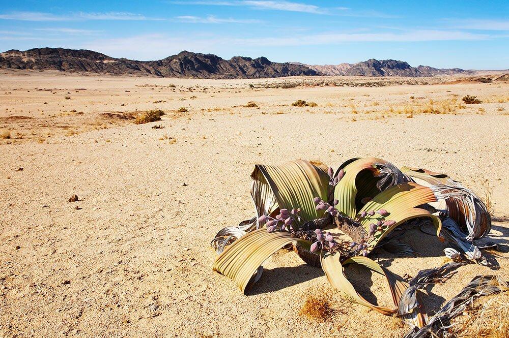 Женский экземпляр вельвичии удивительной в пустыне Намиб
