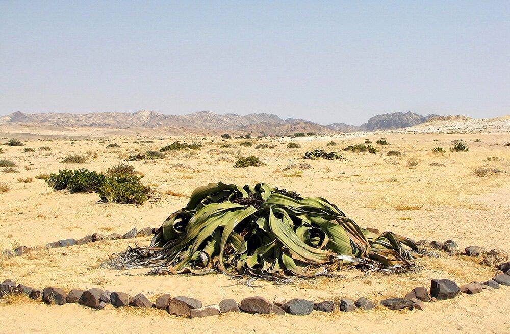 вельвичии в Национальном парке «Намиб-Науклуфт» (Намибия)
